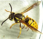 Are Yellow Jackets Bees or Wasps?