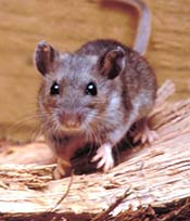 Mouse Nest ID