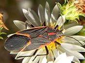 The Box Elder Bug