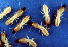 Termites - Make Sure You Don't Have Them!