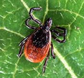 New Ticks to Plague NJ