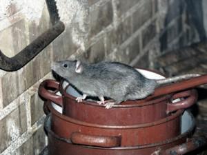 The Norway Rat