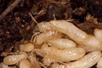 NJ Termite Pests