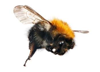 Carpenter Bees are Wood Boring Bees