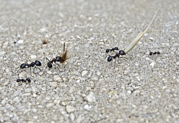 Ants Actually May Battle Termites