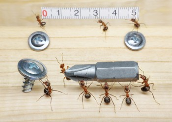 team of ants measures with ruler and carries