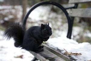 Black Squirrels Everywhere
