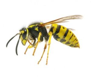 The Brad Pitt Wasp