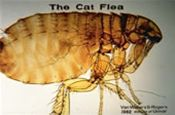 Fleas - Getting a Foothold Into Your Home Via Your Pet