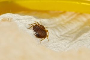 Why Are Bed Bugs So Hard to Control?
