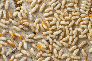 A Cluster of Termites Ready to Move Into Your Home!