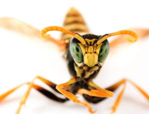 Hornets Sting Repeatedly, so Watch Out.