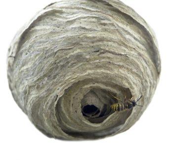 Hornet Nests Spell Trouble!