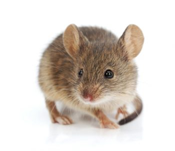 There's Never Just One! Mice and Rats Bring Disease Indoors