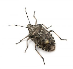 New Jersey Stink Bugs are Back!