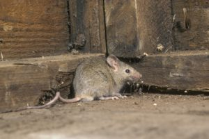 House Mice Can Get Into Just About Anything