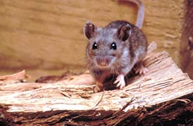 Image of a deer mouse.