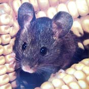 Image of a house mouse.