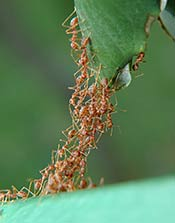 Ants stacked up to create a living bridge for worker ants to move across.