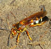 Image of a cicada killer wasp.