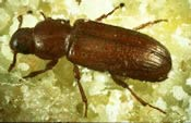 Image of a confused flour beetle.