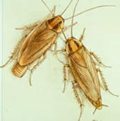 Image of two German cockroaches.