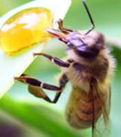 Image of a honey bee.
