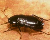 Image of a shiny black Oriental cockroach.