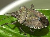 Image of a shield-shaped stink bug.