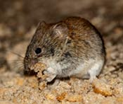 Image of a New Jersey vole.